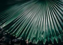 Big Palm Leaf In Rainforest