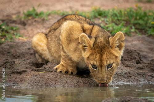 Obraz na plátně Lion cub lies drinking from muddy pond