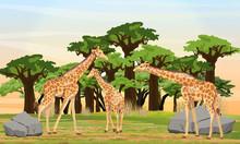 Herd Of Giraffes Is Walking On...