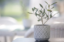 Small Olive Tree In A Pot