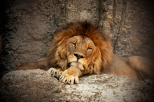 Lion Sleeping In The Zoo