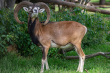 Wild Mouflon Sheep, One Male G...