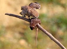 Young Little Owl Testing A Rat.