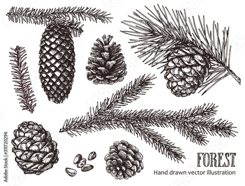 Obraz Hand drawn design vector elements. Forest collection of coniferous branches and pine cones isolated on white background. - fototapety do salonu