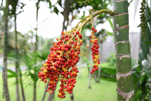 ripe Betel nut fruit Wallpaper Mural