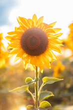 Beautiful Summer Sunflower Fie...