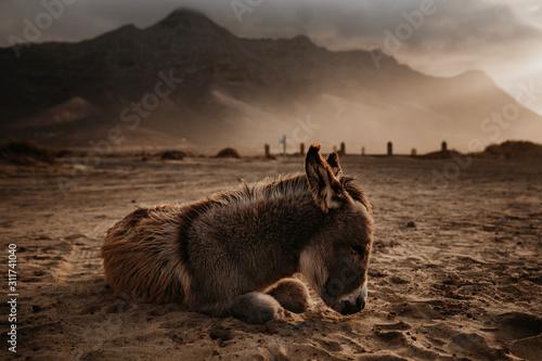 Fotografie, Obraz Schlafender Esel am Playa de Cofete