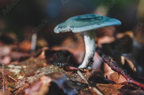 Fototapeta  Joli champignon d'automne coloré