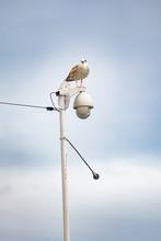 Seagull Sitting On Streetlamp ...