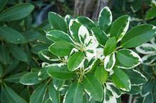 Schefflera Or Umbrella Plant O...