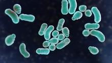 Microscopic Fungi Malassezia F...