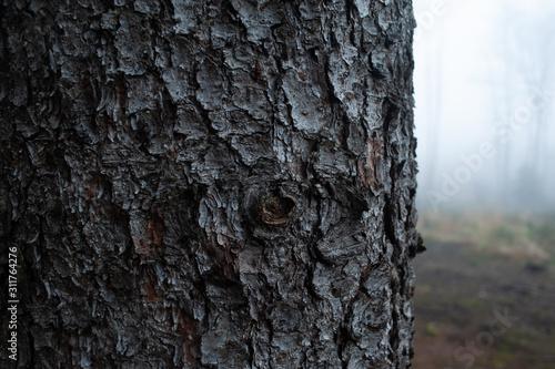 Photo Spruce tree bark