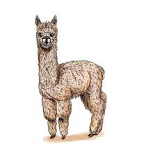Cute Standing Alpaca, Full Color Sketch, Drawn
