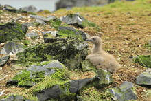Little Fledgling Chick Among The Stones.