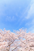 Cherry Blossoms, Blue Sky, Sightseeing