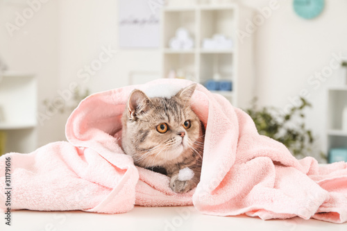 Fototapeta Cute funny cat after washing in grooming salon obraz