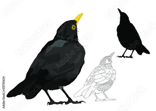 Photo Vector bird. Common Blackbird. Vector image. White background.