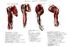 Set Of Anatomy Human Muscles A...