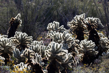 Teddy-bear Cholla Cactus In Saguaro National Park