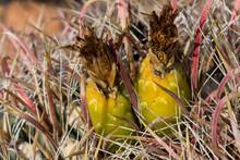 Fishhook Barrel Cactus Fruits ...