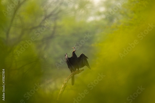 Fototapeta Oriental darter or Indian darter in different perspective where green trees used