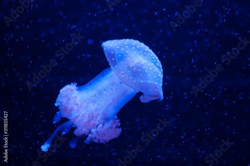 Obraz na plátně  Beautiful blue jellyfish in neon light floating in the aquarium.
