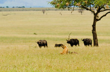 Closeup Of A  Lioness With Kill And A Herd Of Cape Buffalo Threatrning Her In The Serengeti National Park, Tanzania