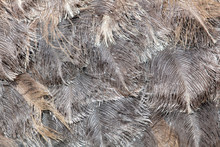Ostrich Feathers As An Abstrac...
