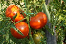 Fresh Tomatoes On The Vine