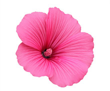 Isolated Beautiful Pink Mallow...