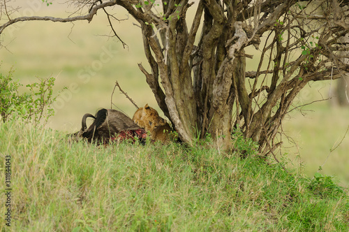 Photo Lion cub eating on a wildebeest kill (Panthera leo, or Simba in Swaheli)  in t