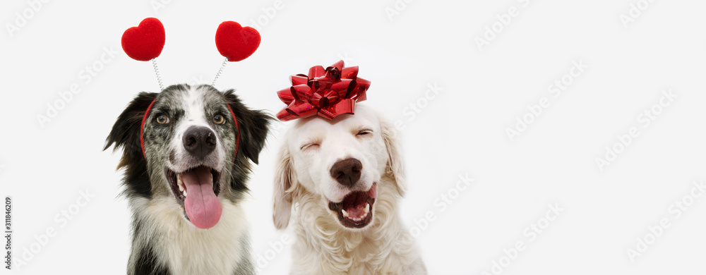 Fototapeta two happy dog present for valentine's day with a red ribbon on head and a heart shape diadem.  isolated against white background.