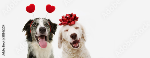 Obraz two happy dog present for valentine's day with a red ribbon on head and a heart shape diadem.  isolated against white background. - fototapety do salonu