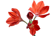 Red Flower Vallota. Isolated On White