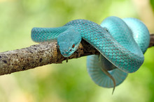 Blue Viper Snake, Venomous And...