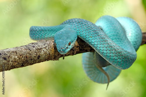 Fotografija blue viper snake, venomous and poisonous snake