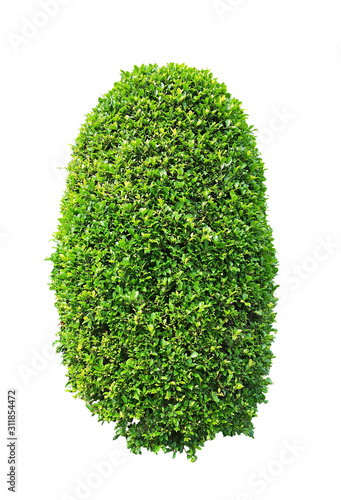 Obraz Greenery ficus shrub plant isolated on white background , green leaves bush di cut with clipping path - fototapety do salonu