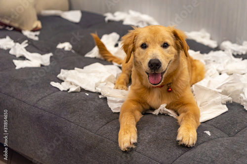 Foto Portrait of naughty young golden dog playing toilet papers