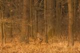 Fototapeta Zwierzęta - Sarna w lesie