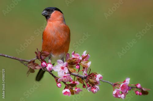Carta da parati Male eurasian bullfinch (Pyrrhula pyrrhula) on a branch with pink flowers on a beautiful day in may