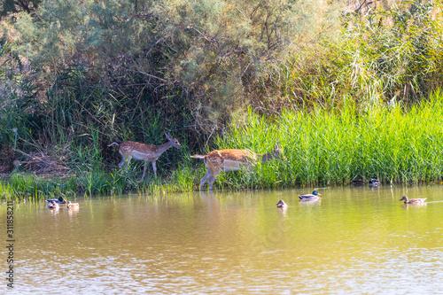 Fototapeta Fallow deers in Parc Natural dels Aiguamolls de l'Empordà obraz