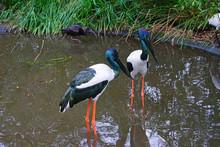 A Jabiru Black-necked Stork Bird In Australia