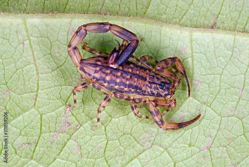 Photo Mesobuthus tamulus, Scorpionidae, Scorpionida, Arachnida, Lychas sp