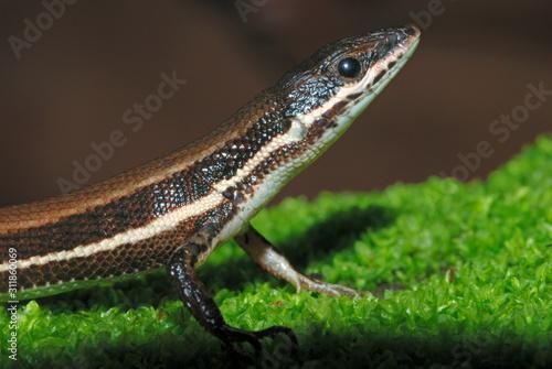The Tyrrhenian Wall Lizard (Podarcis tiliguerta) is a species of lizard in the Lacertidae family Wallpaper Mural