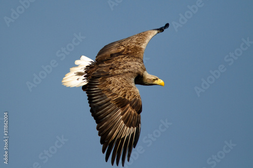 Fotomural The white-tailed eagle in flight on Crna Mlaka fishpond