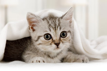 Cute Little Kitten Looks Out From Under The Blanket Indoors