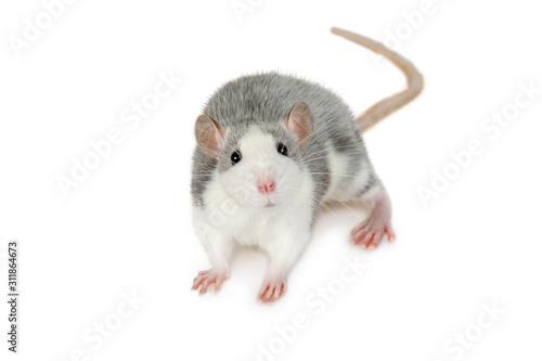 Fotografia A small gray rat looks at the camera