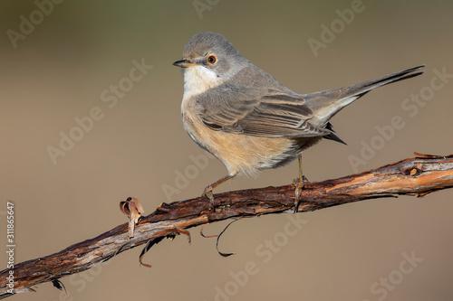 Cuadros en Lienzo  Female of Subalpine warbler. Sylvia cantillans