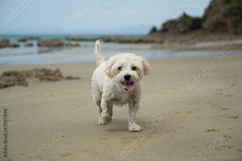 Fotografia, Obraz Cute cavachon dog on a beach.