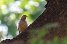 Bird Sitting On Branch.Jungle Blabber Bird.